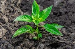 Poivre de jeune plante de l'élevage amer amer dans la terre ou la serre chaude ouverte photographie stock libre de droits
