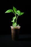 Poivre de jeune plante sur un fond noir images stock