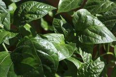 Poivre de jeunes plantes L'élevage pousse à la maison Image stock