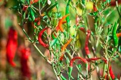 Poivre de piment amer rouge sur un arbre Image stock