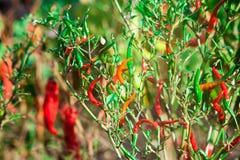 Poivre de piment amer rouge sur un arbre Photo libre de droits