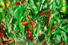 Poivre de piment amer rouge sur un arbre Photographie stock libre de droits