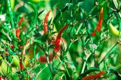 Poivre de piment amer rouge sur un arbre Images stock