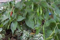 Poivre de piment dans le jardin Image stock