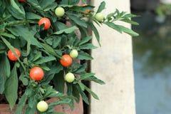 Poivre de piments rouges sur l'usine - piment de cerise Photographie stock