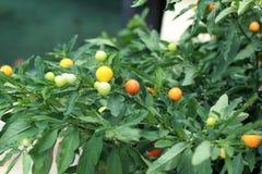 Poivre de piments rouges sur l'usine - piment de cerise Images stock