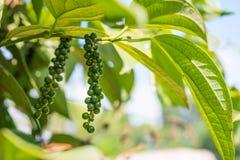 Poivre noir non mûr, usine avec les baies vertes Photos stock