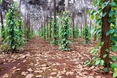 Poivre noir vert Photographie stock libre de droits