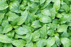 Poivrez les jeunes plantes, jeune feuillage de poivre, jeunes plantes de ressort Image libre de droits