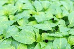 Poivrez les jeunes plantes, jeune feuillage de poivre, jeunes plantes de ressort Images libres de droits