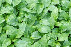 Poivrez les jeunes plantes, jeune feuillage de poivre, jeunes plantes de ressort Photos stock