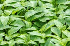 Poivrez les jeunes plantes, jeune feuillage de poivre, jeunes plantes de ressort Photographie stock libre de droits