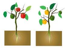 Poivron doux avec des racines au fond, illustration de vecteur illustration libre de droits