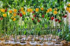 Poivron doux de Bell s'élevant dans la ferme organique agricole images stock