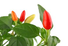 /poivron orange et jaune rouge sur le branchement avec la lame verte Images stock