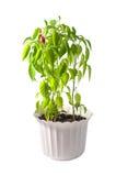 Poivron rouge dans un pot Photographie stock