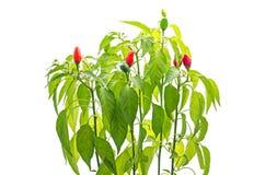 Poivron rouge dans un pot Image stock