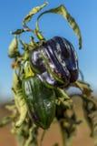 Poivron vert sur la branche (visibilité directe Yebenes, Espagne) Image libre de droits