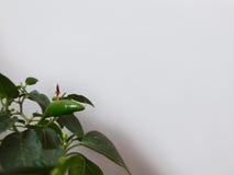 Poivron vert sur une branche Images stock