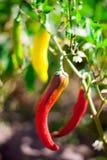 Poivrons amers très chauds de piment fort Images libres de droits