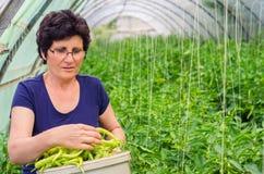 Poivrons de cueillette de femme de jardin Images libres de droits