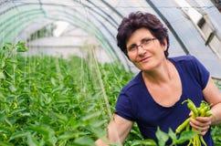 Poivrons de cueillette de femme de jardin Photographie stock