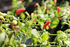 Poivrons de piments chauds sur l'arbre Photo libre de droits