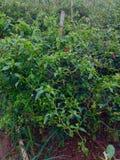 Poivrons de piments dans le jardin Image stock