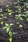 Poivrons plantés par jeunes plantes. image stock