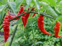 Poivrons rouges de Murupi s'élevant sur un jardin Photos stock
