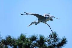 pojęcia latającej wolności dobry popielaty czapli use Fotografia Royalty Free