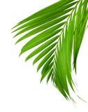 Pojęcia lato z zielonym palmowym liściem od tropikalnego frond kwiecisty Flory, las fotografia stock