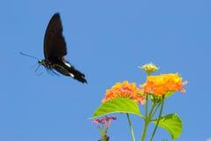 pojęcia motyli latanie uwalnia wolność Zdjęcie Stock