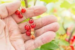 pojęcia ogrodnictwo Gałąź czerwony rodzynek w stary człowiek starszych osob ręce Makro- strzał Fotografia Royalty Free
