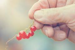 pojęcia ogrodnictwo Gałąź czerwony rodzynek w stary człowiek starszych osob ręce Makro- strzał Fotografia Stock