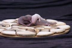 Pojęcie łysa skóra Nowonarodzeni dziecko szczury śpią fotografia stock