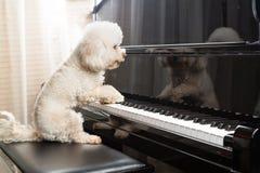 Pojęcie śliczny pudla pies bawić się pionowego uroczystego pianino obrazy stock