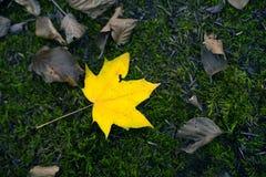 Pojęcie żółty liść na mech zieleni bacground krótkopędzie od above i Zdjęcie Stock