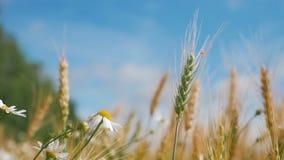 Pojęcie chleb i rolnictwo Pszeniczna uprawa kiwa na polu przeciw niebieskiemu niebu Złociste fale banatka groszkują dmuchanie w w zbiory wideo