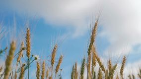 Pojęcie chleb i rolnictwo Pszeniczna uprawa kiwa na polu przeciw niebieskiemu niebu Złociste fale banatka groszkują dmuchanie w w zbiory