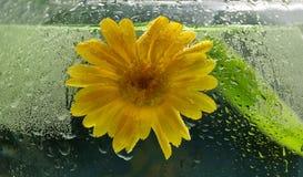 Pojęcie ekologia żółty kwiat calendula wewnątrz i woda obrazy royalty free
