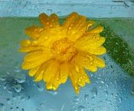Pojęcie ekologia żółty kwiat calendula wewnątrz i woda zdjęcia stock