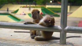 Pojęcie kontrastująca natura i miasto dzikie małpy siedzi przy tłem jeździć na łyżwach parka zbiory
