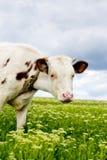 pojęcie krowy krajobrazu łąkowa charakter mountain Fotografia Stock
