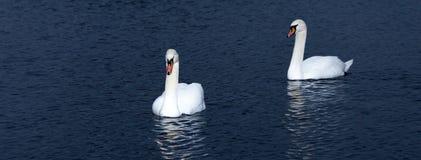 pojęcie miłości do pary łabędzia pływać Fotografia Royalty Free
