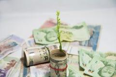 Pojęcie pieniądze przyrost, Zielony drzewo, kiełkuje od rolki USA banknotów i używamy gumowego zespołu Zdjęcia Stock