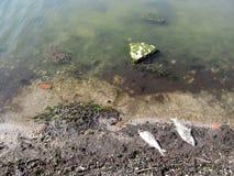 Pojęcie zanieczyszczenie morza oceany i - dwa ampuły nieboszczyka ryba na brzeg morze zatoka z brudną wodą Fotografia Royalty Free