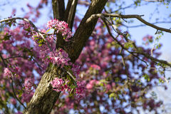 pojęcia kwiatów natury menchii sezonu wiosna drzewo Zdjęcie Stock