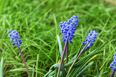 pojęcia kwiatu hiacyntowy romantyczny wiosna lato Obrazy Royalty Free