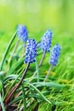 pojęcia kwiatu hiacyntowy romantyczny wiosna lato Zdjęcie Royalty Free